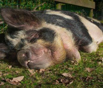 Un maiale in una fattoria didattica nelle Marche