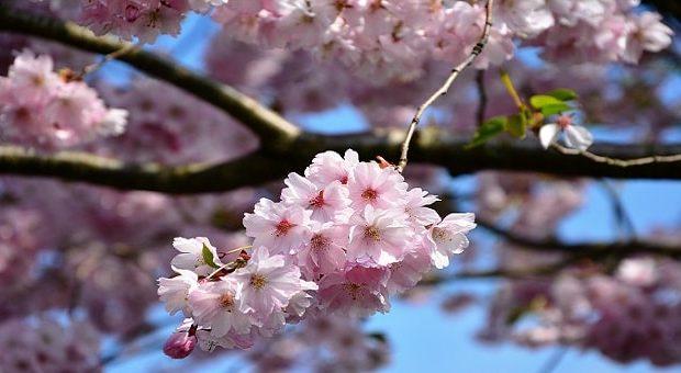 Pedaso Hanami 2019, Festa dei Ciliegi in Fiore