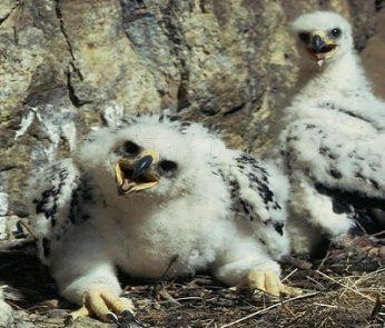 Aquila reale, pulcini